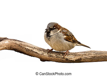 portrait of a sparrow eating a sunflower seed
