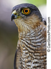 Portrait of a sparrow hawk, (Accipiter nisus), among the thickets of the forest