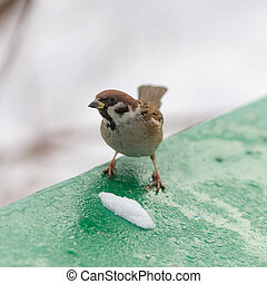 sparrow in winter