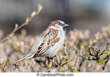 sparrow on a branch closeup