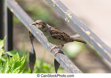 sparrow on the metal fence