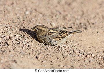 Portrait of a sparrow on the sand