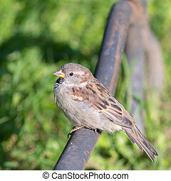 sparrow sitting on a metal pipe
