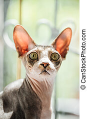 Portrait of a sphynx cat looking surprised