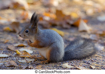 portrait of a squirrel in autumn