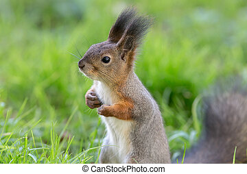 squirrel in the grass closeup