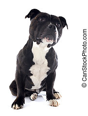 portrait of a staffordshire bull terrier in front of white background