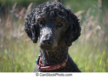 Portrait of a standard poodle head and shoulders - Head and ...