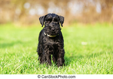 portrait of a standard schnauzer puppy who sits on the meadow