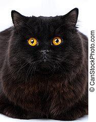 Portrait of a surprised cat Scottish Straight, closeup