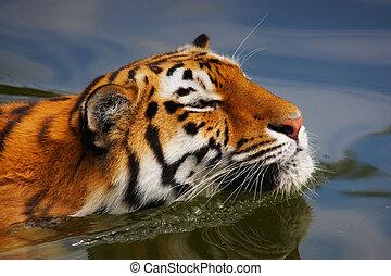 Portrait of a swimming Siberian tiger