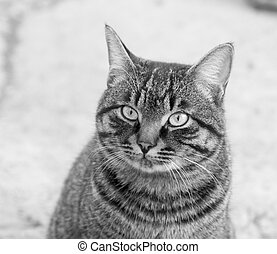 Portrait of a tabby gray cat