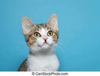 Portrait of a tan and white tabby kitten on blue background
