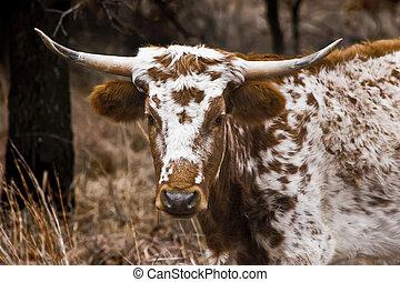 Portrait of a Texas Longhorn
