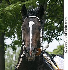 Portrait of a thoroughbred horse.