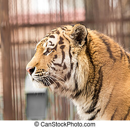 Portrait of a tiger in zoo