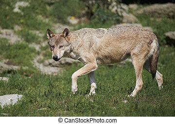Portrait of a timberwolf in summer