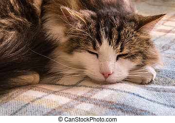 a tired tabby cat sleeping on a woollen blanket