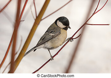 titmouse on a branch in winter