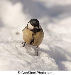 Portrait of a titmouse on snow