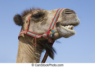 Portrait of a traditional transport camel with red bridle ...