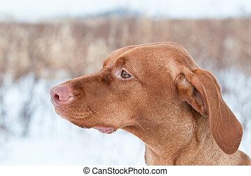 Portrait of a Vizsla dog in Winter