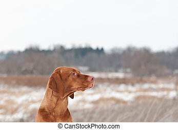 Portrait of a Vizsla dog in Winter