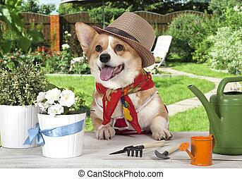 Portrait of a Welsh corgi Pembroke dog in a hat