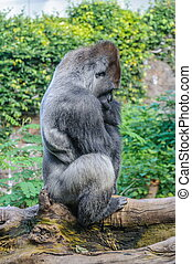 Portrait of a western lowland gorilla in Loro Parque, Tenerife, Canary Islands.