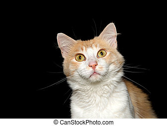 Portrait of a white and orange cat on black background