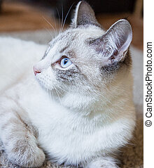 portrait of a white cat with light blue eyes lying on a carpet and looking to the side