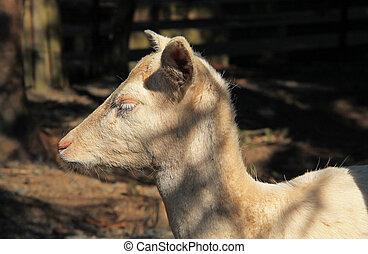 white fallow deer female