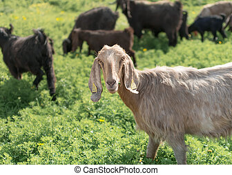 Portrait of a white goat looking at the camera. Herd of goats grazing in pasture