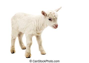 Portrait of a white goat