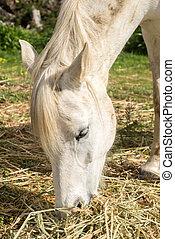 Portrait of a white horse feeding