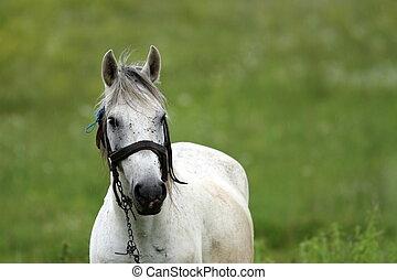 portrait of a white horse