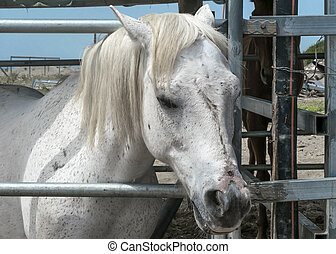 Portrait of a white horse standing in a stall. Horse face close.