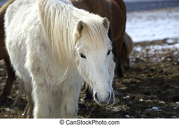 Portrait of a white Icelandic horse in winter landscape