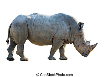 Portrait of a white rhinoceros.