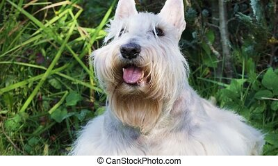 Portrait of a white Scottish terrier dog outdoors on a sunny...