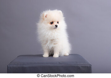 portrait of a white Spitz puppy. dog sits in a photo studio.