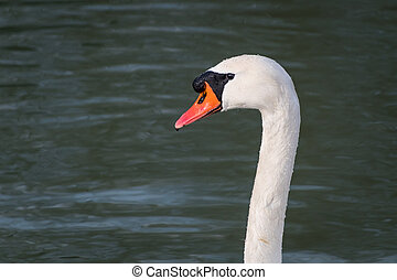 Portrait of a white swan on the danube in Vienna