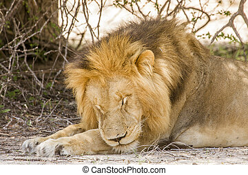 portrait of a wild male lion resting in savannah, Kruger, South Africa