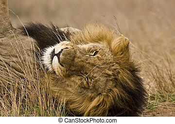 portrait of a wild male lion sleeping in savannah