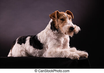 Portrait of a Wirehaired Fox Terrier lying isolated on a black background. Close up side view