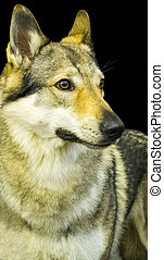 portrait of a wolf on a black background