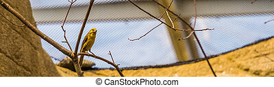 portrait of a yellow grosbeak sitting on a branch, tropical ...