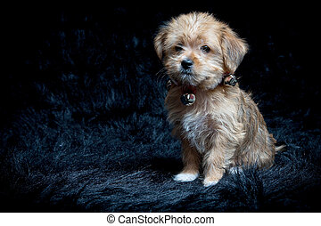 Yorkshire Terrier and Maltese Mixed Breed Puppy - Portrait...