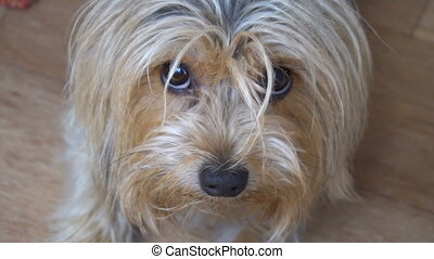 portrait of a Yorkshire Terrier in the room of the apartment