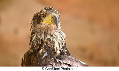 Portrait of a young Bald eagle . High quality 4k footage